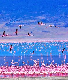 Lake Nakuru, Kenya | Flamingos on Lake Nakuru,Kenya: