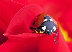Les aventures d'une mignonne petite coccinelle, photographiées en macro par le photographe irlandais Tomasz Skoczen dans une jolie série douce et colorée, réalisée principalement dans son jardin grâce à un Canon 5D Mark II et un objectif macro.