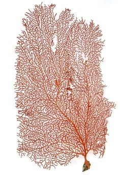Red Sea Fan