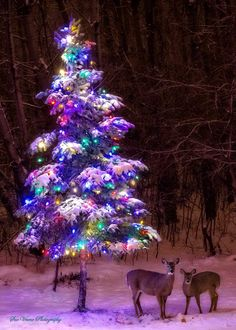 """Beautiful photo! """"A couple of deer couldn't resist this beautiful tree in the backyard of a home in Eagan, Minnesota. Photo taken by Fox 9 viewer Sue Vruno."""