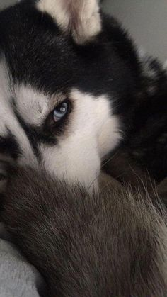 Wonderful All About The Siberian Husky Ideas. Prodigious All About The Siberian Husky Ideas. Sibirsk Husky, Husky Eyes, Cute Husky, Siberian Husky Puppies, Siberian Huskies, Baby Huskies, Husky Wolf Mix, White Siberian Husky, Alaskan Husky