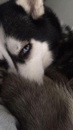 Wonderful All About The Siberian Husky Ideas. Prodigious All About The Siberian Husky Ideas. Sibirsk Husky, Husky Eyes, Cute Husky, Siberian Husky Puppies, Siberian Huskies, Baby Huskies, White Siberian Husky, Alaskan Husky, Pomeranian Puppy