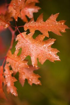 Autumn Leaves -  - Picture Colors:  Burnt Orange and Moss Green