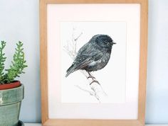 Black Robin, New Zealand native bird illustration A3 print, from original watercolor and ink painting artwork