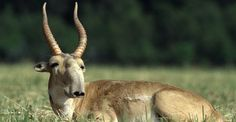 The saiga antelopes' large humped nose hangs over the mouth. The nose is flexible and inflatable so helps them breathe clean air during dusty summers and warm air during cold winters. Kangaroo, Kangaroos