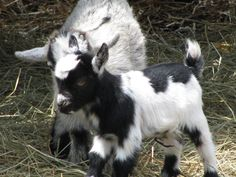 Google Image Result for http://www.cricketbread.com/images/farmtour/brae_baby_goats.jpg