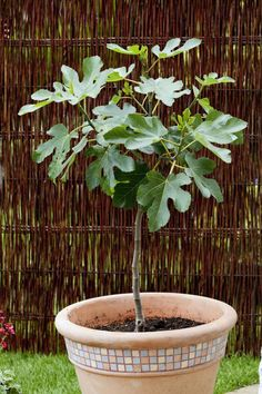 Patio trees are small, beautiful shade trees that can grow in containers or the ground. Learn about some of the best small trees to accent your patio. Potted Trees Patio, Outdoor Trees, Outdoor Shade, Patio Fruit Trees, Small Space Gardening, Small Gardens, Garden Trellis, Garden Pots, Garden Ideas