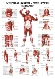 The Muscular System - Deep Layers, Back Laminated Anatomy Chart (Tight Psoas Si Joint)This muscular system chart shows in detail the deep layers of muscle on the front of your body. More specifically, this beautifully illustrated anatomy chart includ Body Anatomy, Human Anatomy, Muscle Chart Anatomy, Neck Muscle Anatomy, Anatomy Drawing, Psoas Release, Anatomy Models, Ab Workout At Home, Boxing Workout