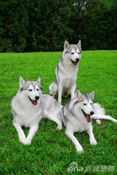 Husky. Saw one with blue eyes and thought I might die. One day... :)