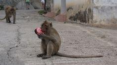 Thirsty monkey Thailand