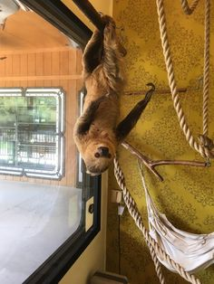 Look, a sloth! Sloth pictures, videos and other sloth content. Big Animals, Fluffy Animals, Baby Sloth, Sloths, My Spirit Animal, Look At Me, Animal Quotes, Cuddling, Sloth Stuff