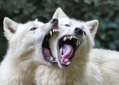 Wolf Spirit, Spirit Animal, Animals And Pets, Cute Animals, Wild Animals, Baby Animals, Strange Animals, Canis Lupus, Timberwolf