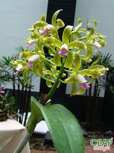 Garden Flowers - Annuals Or Perennials Cattleya Guttata Unique Plants, Exotic Plants, Orchid Varieties, Cattleya Orchid, Orchids Garden, Orchidaceae, Cactus, Shade Garden, Flower Beds