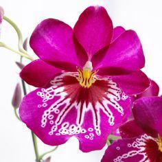 Miltonia #orchidea, zona di origine Ande in Colombia fino al Perù e all'Ecuador.