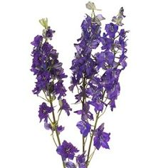 Bulk Violet Larkspur flowers have many blooming delicate flowers and medium green foliage along tall stately spikes. As the flower blooms from the lower part to the top, unopened buds provide an interesting contrast to the weightless blossom form. Our Larkspur is known for its award winning premium quality and long lasting vase life.