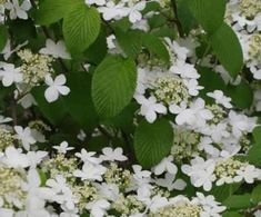 Viburnum...Zones 3–9 For sheer presence in the garden, few shrubs can match a viburnum. Fragrant blooms, colorful berries, and fall color are just some of the attributes you will find in this genus.