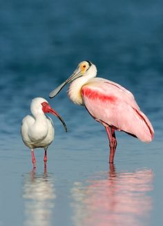 Roseate Spoonbill and White Ibis -- I saw both of these in Key Largo!