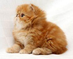 10 พันธุ์แมวที่สวยที่สุดในโลก!!! - Dek-D.com > มีสาระ > ความรู้รอบตัว