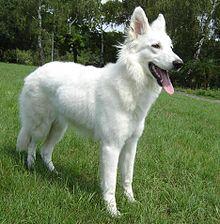 Perro pastor blanco de 9 meses