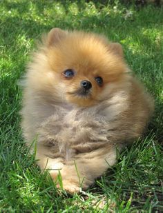 Nothing more beautiful than a little Pom Puppy!