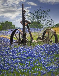 Field of blue wildflowers.~Bluebonnets state flower of Texas. Antique mule drawn mower for cutting hay like my grandfather W.C. Blanchard had.