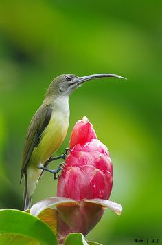 The Spiderhunters are birds of the genus Arachnothera, part of the sunbird family Nectariniidae. The genus contains eleven species found in the forests of south and southeastern Asia.