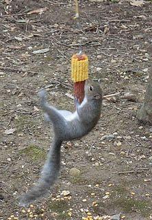 DIY Bung-ee squirrel corn cob feeder: tree, chain, bike bungee cord, eye-screw into end of corn, hang & watch the squirrels jump!