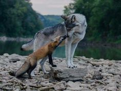 Here you can compare gray wolf vs fox. Read this article to know comparison, difference between fox vs gray wolf and who will win the fight. Nature Animals, Animals And Pets, Baby Animals, Funny Animals, Cute Animals, Artic Animals, Woodland Animals, Mercy For Animals, Wildlife Nature