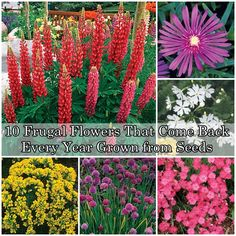 10 Frugal Flowers That Come Back Every Year Grown from Seeds Homesteading  - The Homestead Survival .Com