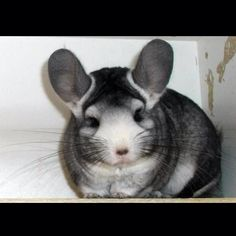 (Borrowed from our friend Ammi) this is such a unique chinchilla, look at the wonderful markings on him.