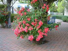 Plant photo of: Rosa Climbing varieties