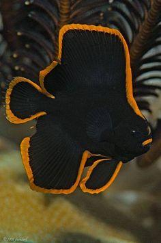 Platax pinnatus, também conhecido como o batfish pinadas, batfish obscuro, batfish sombreada, ou peixes-morcego com o rosto vermelho é um peixe do oeste do Pacífico que ocasionalmente é mantido em aquários marinhos .