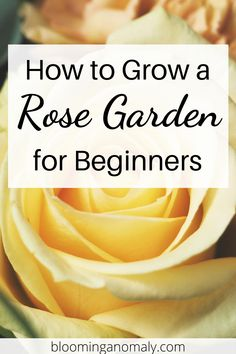 Learn how to grow a beautiful rose garden in your outdoor space. You can grow roses in pots, on a trellis, or along a border. Click on the pin to learn more about growing roses. #growroses #rosegarden #rosebush #climbingroses Beautiful Flowers Garden, Amazing Flowers, Beautiful Roses, Gardening For Beginners, Gardening Tips, Floribunda Roses, Rose Care, Types Of Roses, Growing Roses