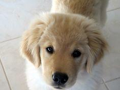 My friend's Golden puppy