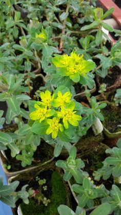 Euphorbia Polychroma Spring Green, Perennials, Tulips, Garden, Plants, Color, Garten, Tulip, Perennial