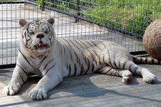 Tigre branco com sindrome de down