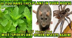If You Have This Plant In Your House, You Will Never See Mice, Spiders and Other…