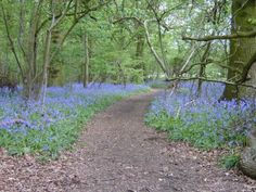 Blue bells, Tubney woods, Oxfordshire, uploaded to the netweather gallery by No balls like Snow Balls