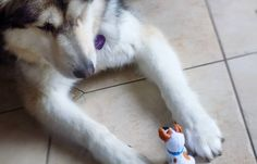 Who Will Win, Basil, Husky, Amp, Instagram Posts, Dogs, Animals, Animales, Animaux