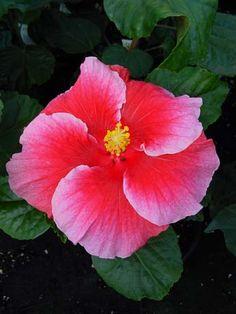 Hibiscus 'Miami Ice'