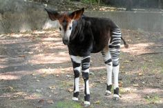 Okapi!  Saw one of these at the Washington DC Zoo.  They're really very pretty in real life.  <3~R~<3