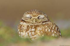 Let me dream by Kaustubh Deshpande; burrowing owl