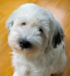 tibetan terrier - my schnoodle recently disappeared and while the thought of getting another dog breaks my heart, my heart breaks at the thought of not having a fur baby - this fur baby makes my heart happy.