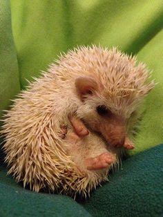 Cute Hedgehog in Hong Kong by HKpop, via Flickr