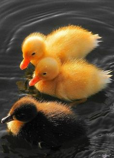 They look like real life rubber ducks! Lol