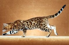 Bengal Cat - im so lucky to have one of these...plus i have another 4 amazing cats as well...a.l.s