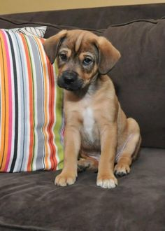 Spencer is approximately 9 weeks old #puppy. He is a mixed breed. We do not know how large he will get, our best guess is Mom was a #BelgianMalinois and Dad was a #ShihTzu. http://www.doggielife.com/spencer/dogs/MG5U92