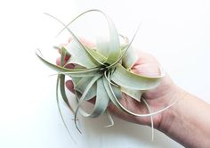 Xerographica FREE SHIPPING Small Air Plant Tillandsia