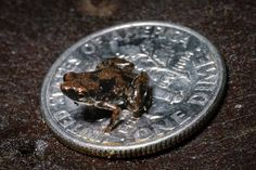 Smallest frog. Found in Papua, New Guinea #wow