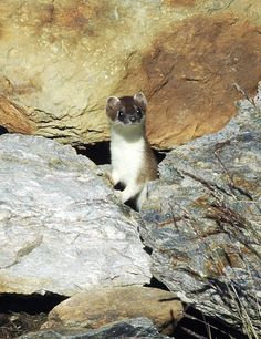 Stelvio National Park - The stoat  http://lombardiaparchi.proedi.it/parco-nazionale-dello-stelvio-2/?lang=en